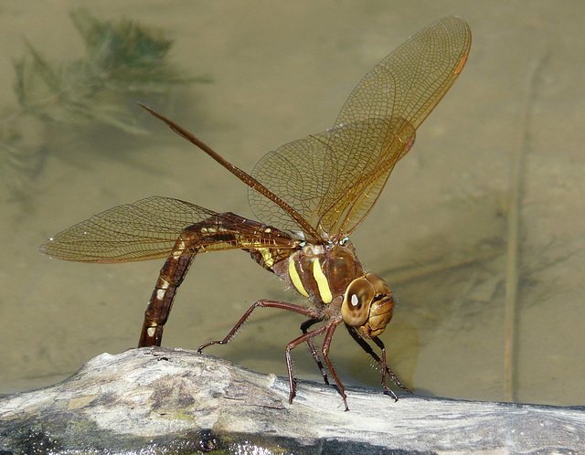 Brown Hawker Female Ovipositing Eggs -Front