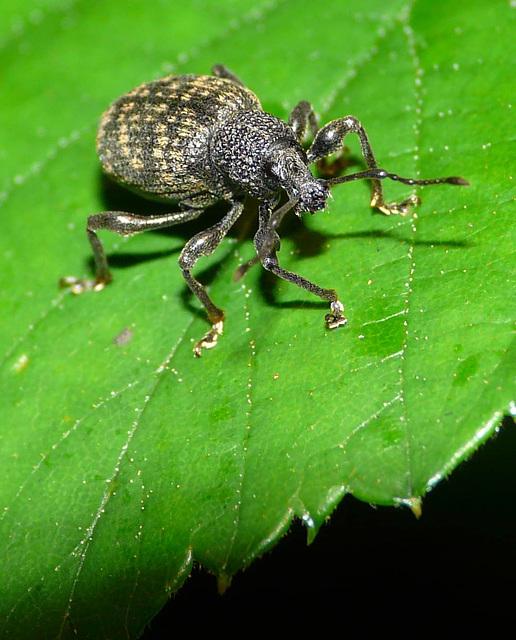Vine Weevil -Front
