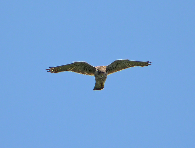 Kestrel @ Eye Level