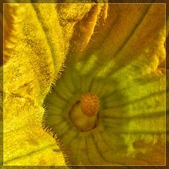 Pumpkin Blossom Close-Up: Light and Shade
