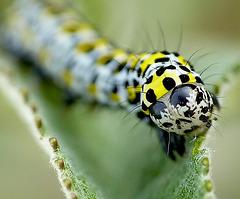 Patio Life: Mullein Caterpillar Face