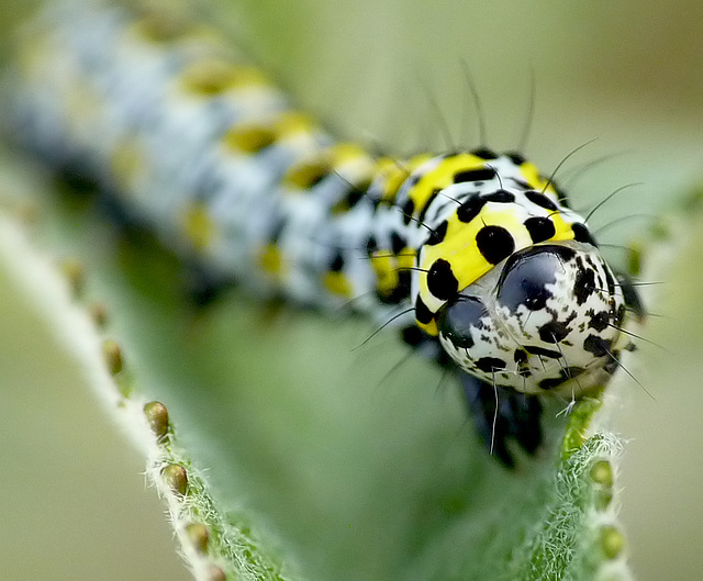 Patio Life: Mullein Caterpillar Face