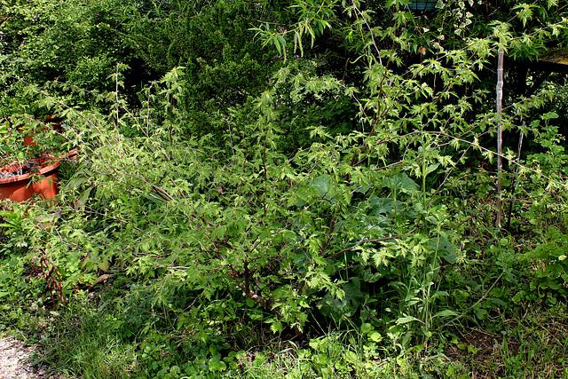 Corylus avellana ' Laciniata ' ( = Heterophylla )