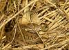 Grass Snake Sunning