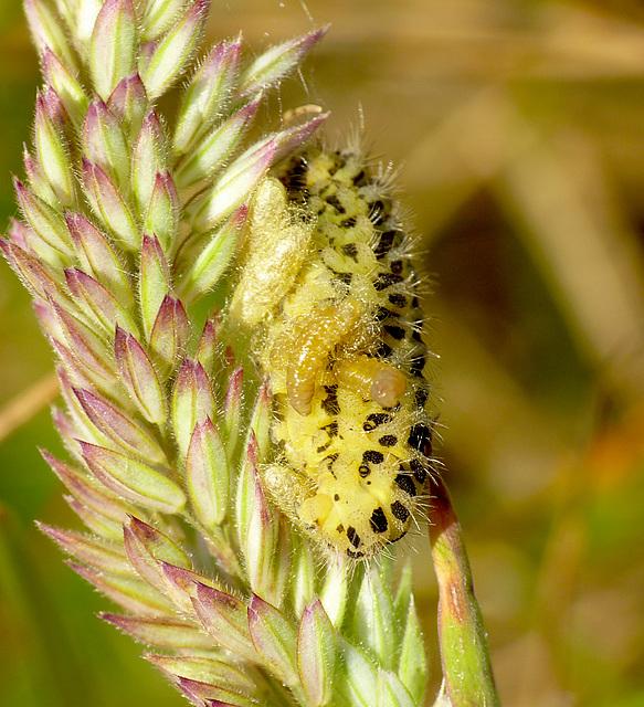 Six-spot Burnet Caterpillar with Wasp Larva