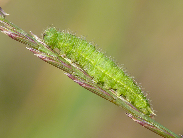 Small Heath Caterpillar