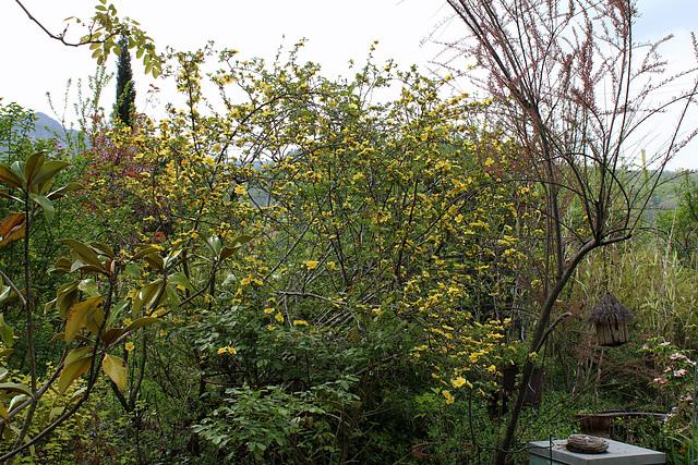 Rosa xanthina 'Canary Bird '