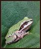 Pacific Tree Frog on Blackberry Leaf