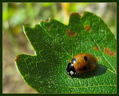 Lovely Ladybug on a Leaf