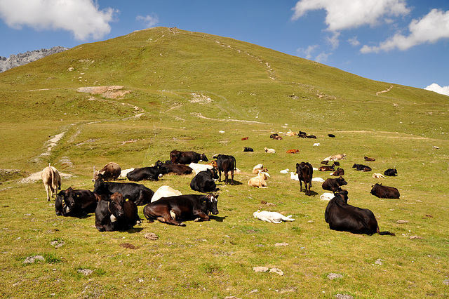 Holiday 2009 – Cows on the Umbrail Pass