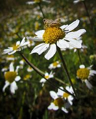 Short-Horned Grasshopper on Daisy