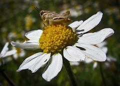 Short-Horned Grasshopper on Daisy Close-Up