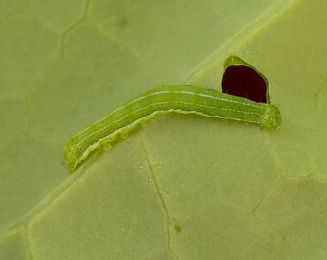 Patio Life: Hebrew Character Moth Caterpillar