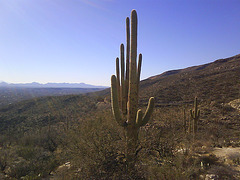 Yet another saguaro