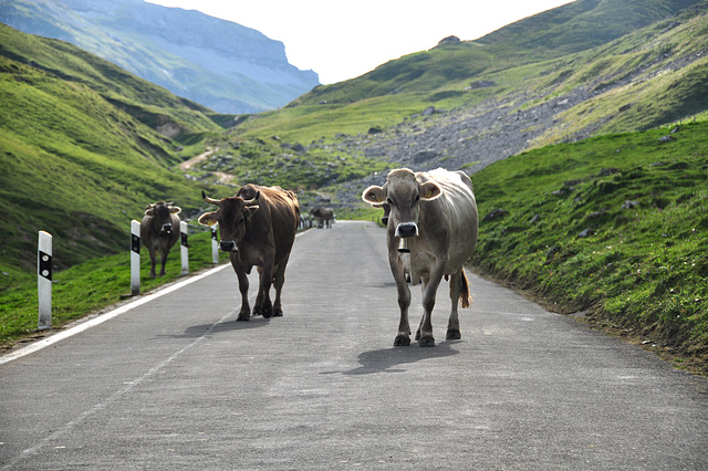 Holiday 2009 – Cows on the Klausen Pass