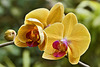 """""""Fairy Tale"""" Orchid – Phipps Conservatory, Pittsburgh, Pennsylvania"""