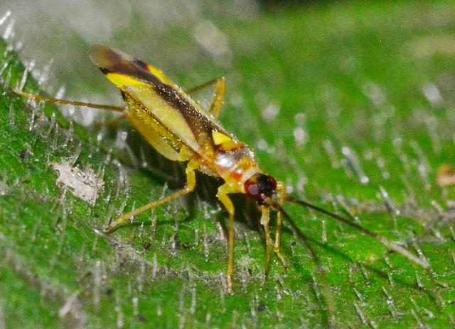 Bug.Campyloneura virgula