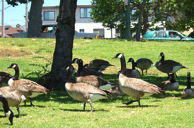 Oakland Geese