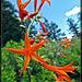 Skyrockets, aka Scarlet Gilia