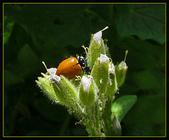 Ladybug with Faint Spotting