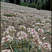 Acres of White and Pink Flowers