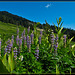 Lupines and Corn Lilies