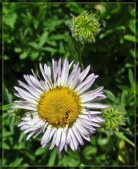 Aster with Tiny Bug