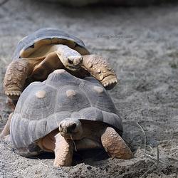 Schweinigelnde Strahlenschildkröten (Hellabrunn)