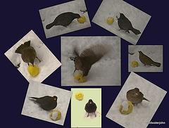 Blackbirds and Winter apples 4205668493 o