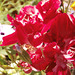 The same red flower - pretty
