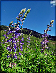 Lupines in a Meadow