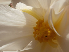 The centre of the white begonia