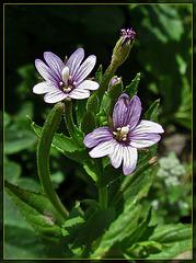 Tiny Lavender Blossoms