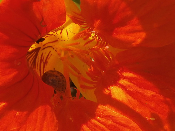 A tiny snail has found his way into the centre of the nasturtium