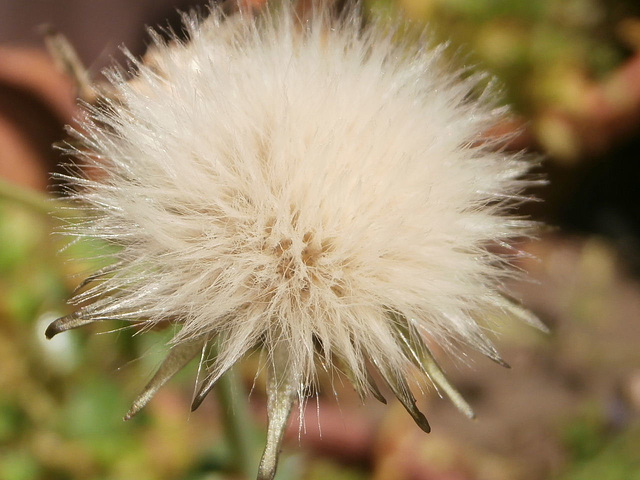 The clock fluff of a weed, but it's so pretty