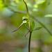 Isotria verticillata (Large Whorled Pogonia orchid)