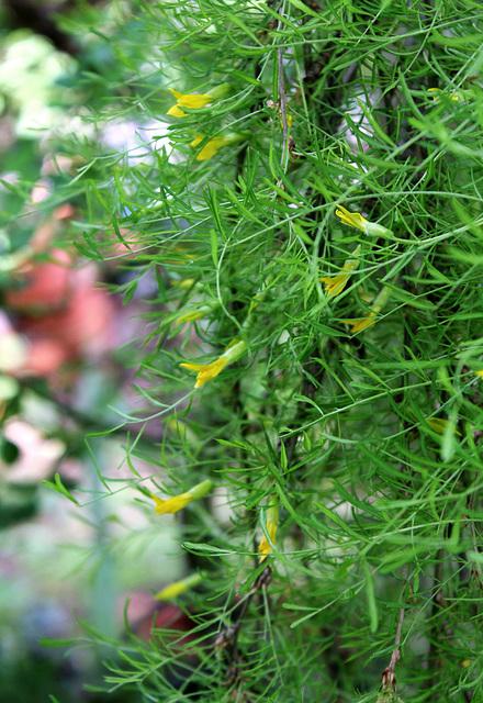 Caragana arborescens 'Walker' Pendula