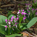 Galearis spectabilis (Showy orchis)