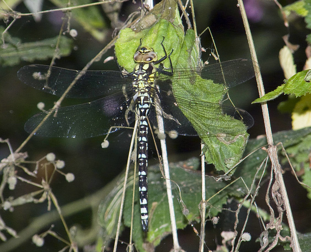 Southern Hawker -Side Full