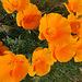 californiapoppies3