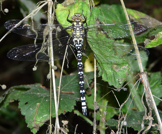 Southern Hawker -Top