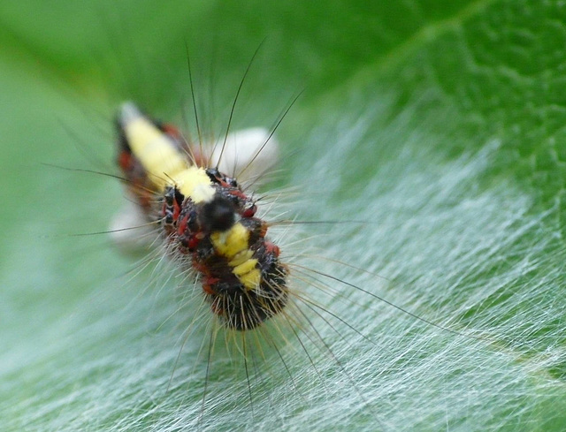 Grey Dagger Caterpillar -Front