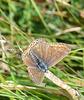 Common Blue -Female