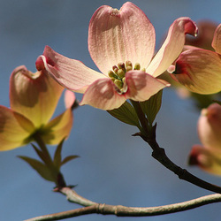 Golden Dogwood