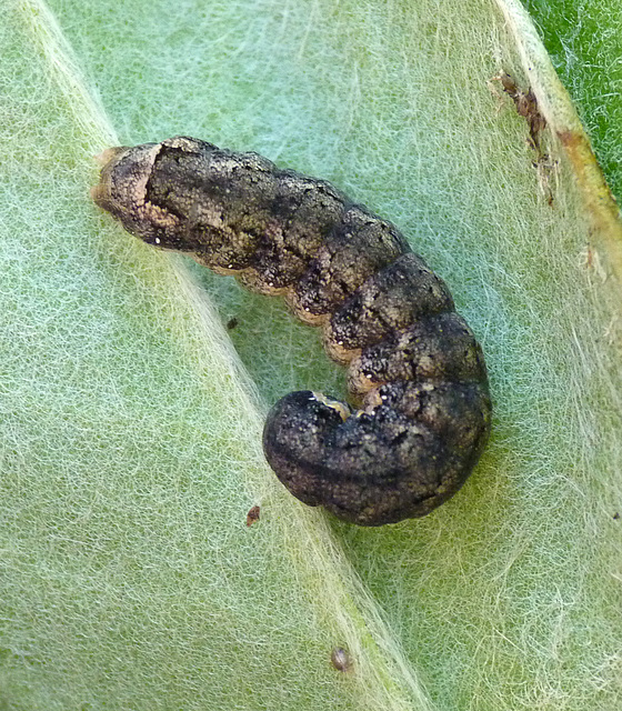 Patio Life: Setaceous Hebrew Character Caterpillar