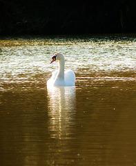 Swan Dreams