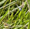 Common Blue Male & Female