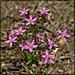 Tiny Pink Bouquet, Monterey Centaury