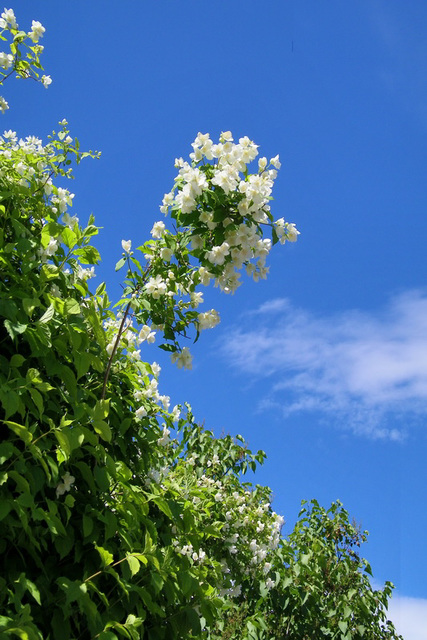 Seringat sur fond  de ciel bleu lundi dernier !