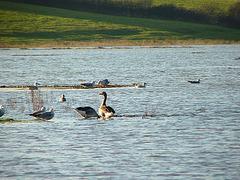 Pebsham Lake Greylag